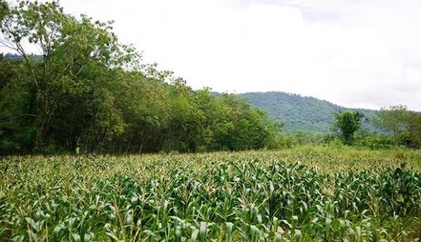 Kirimaya - Corn Field