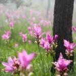 5-Blooming-Krachiao-Flower-Fest