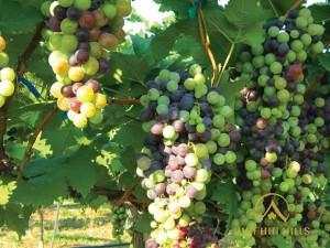 Hua Hin Hills Vineyard 3