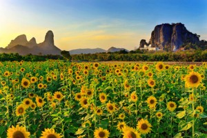 Lopburi sunflower
