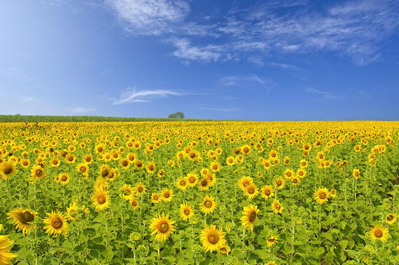 A sunflower field in Thailand